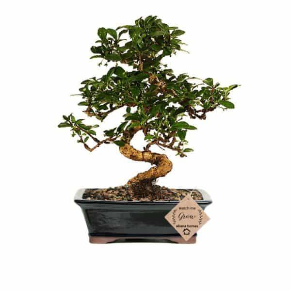 Carmona Bonsai Live Plant 7 Years Old x 25 cm 1